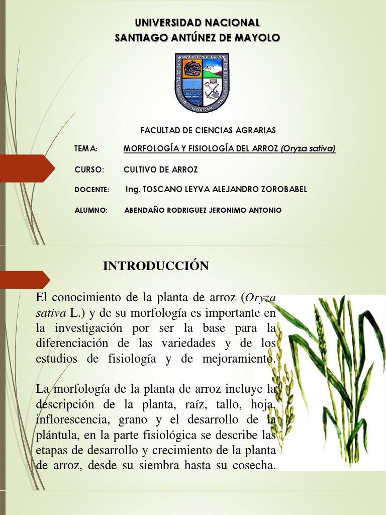 Morfología y Fisiología Del Arroz