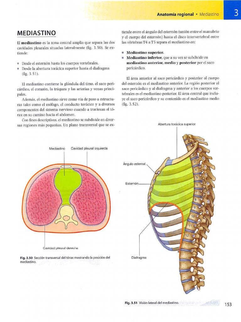 Perfecto Anatomía Del Mediastino Cresta - Imágenes de Anatomía ...