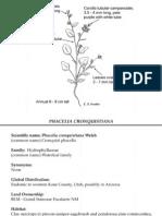 Phacelia cronquistiana ~ Utah Rare Plants