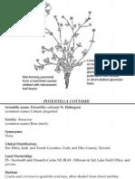 Potentilla cottamii ~ Utah Rare Plants