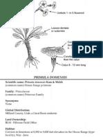 Primula domensis ~ Utah Rare Plants