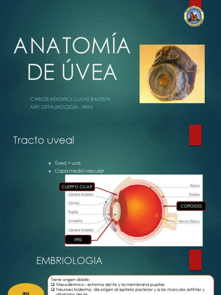 Expo Anatomia de Uvea