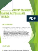 MANEJO DE ESPECIES GRAMÍNEAS, RAIGRÁS, PASTO.pptx