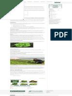Gajenje Zelene Salate _ Sorte _ Rasad _ Poljoinfo Wiki