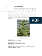 Araucaria heterophylla.docx