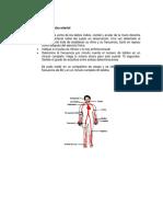 """""""Pulsos ,Sonidos Cardiacos y Presión Arterial"""""""