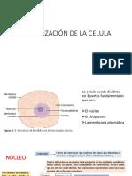 Organzacion de La Celula