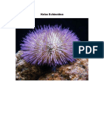 Kelas Echinoidea.docx