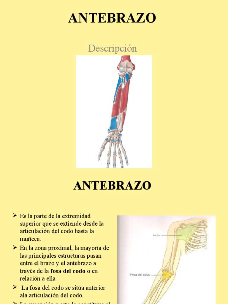 Miembro Superior: Antebrazo