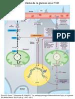 Metabolismo de La Glucosa en El TCE