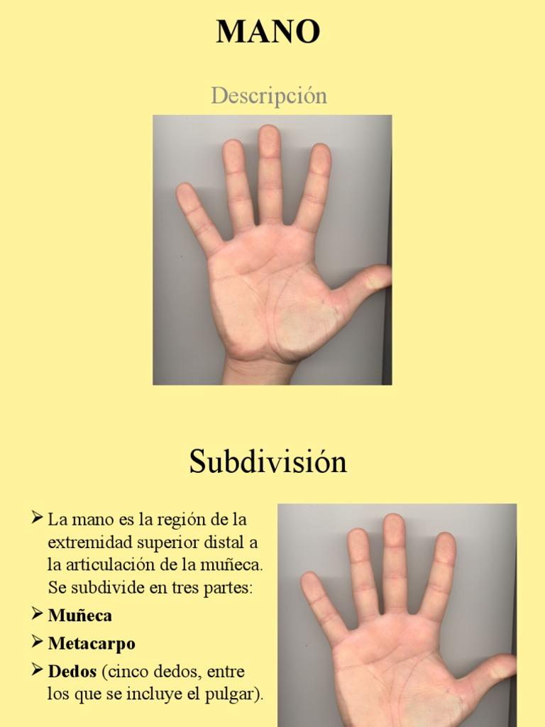 Extremidad Superior: Anatomia de la mano