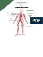 Sistema Circulatorio Susan