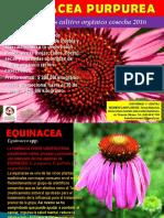Equinacea Purpurea Completo