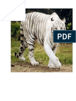Tigres Blanco Dibujos Luisito