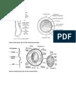 Sperma Katak Jantan Dan Sel Telur Katak Betina