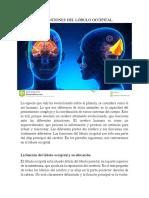 Las Funciones Del Lobulo Occipital