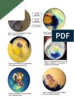 Embrión de pollo y sus vias de inoculación