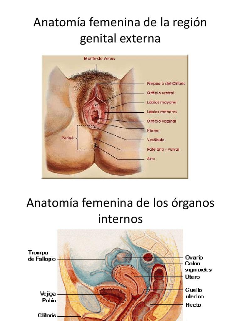 Hermosa Anatomía Femenina Fotos Genital Adorno - Imágenes de ...