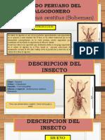 Picudo Peruano Del Algodonero