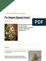 Flor Arlequim (Sparaxis Tricolor)
