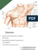Esternon Clavicula y Glandula Mamaria
