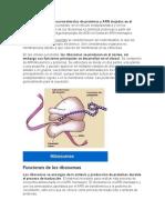 Los Ribosomas- Biologia