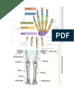 Figuras de Anatomia