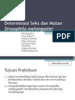 Determinasi Seks Dan Mutan Drosophila Melongaster
