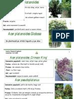 082008_arbori_ornamentali
