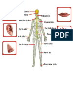 Sistema Nervioso y Los 5 Sentidos