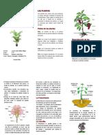 Trifoliado Cielo - Las Plantas