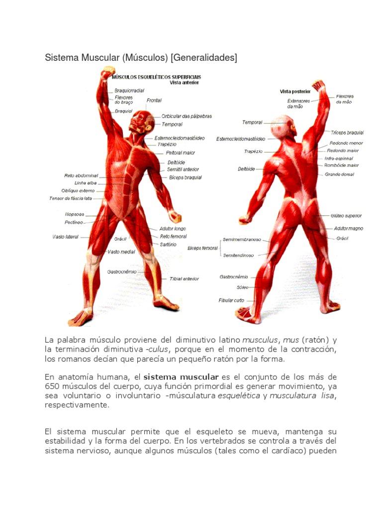 Lujoso Ratón Anatomía Muscular De Las Extremidades Posteriores ...