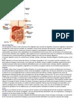 Aparato digestivo Básico