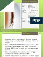 Kelabang Centipede