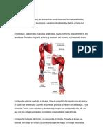 Músculos superiores