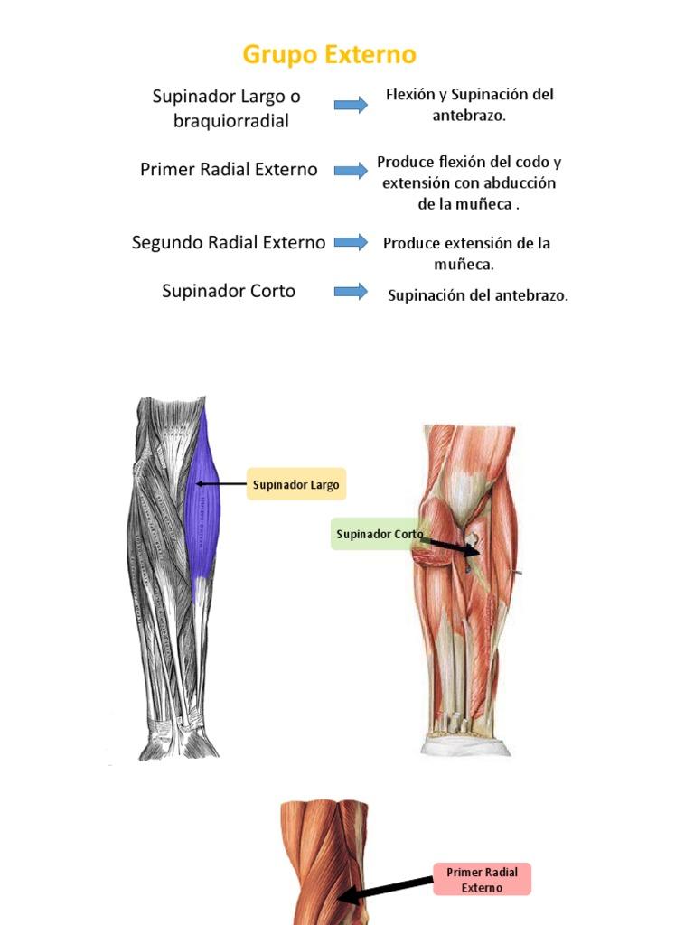Excepcional Brazo De Extensión Anatomía Elaboración - Anatomía de ...