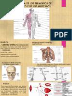 Anatomía de Los Elementos Del Esqueleto y De
