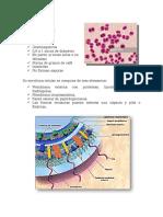 Resumen Neisseria meningitidis