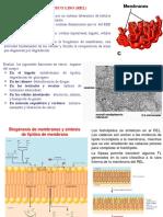 Reticulo-Endoplasmatico-liso