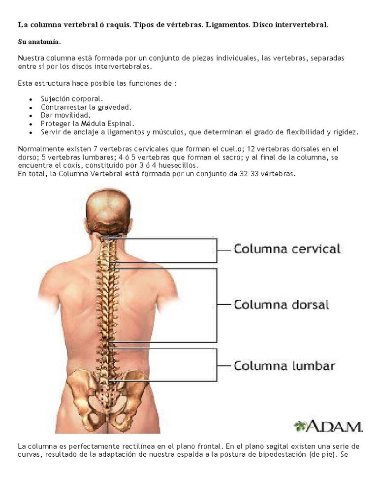 Vistoso Anatomía Columna Vertebral Vértebras Fotos - Anatomía de Las ...
