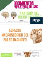 Anatomia Del Bulbo (1)