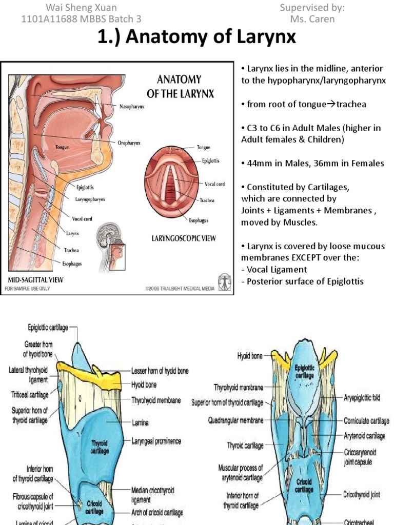 1. Anatomy of Larynx - Wai Sheng Xuan Batch 3 1101A11688 | Larynx ...