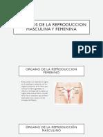 Organos de La Reproduccion Masculina y Femenina