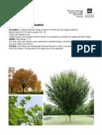 Princeton Elm, Ulmus americana 'Princeton - Delaware Center for Horticulture