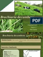 Brachiaria-decumbens
