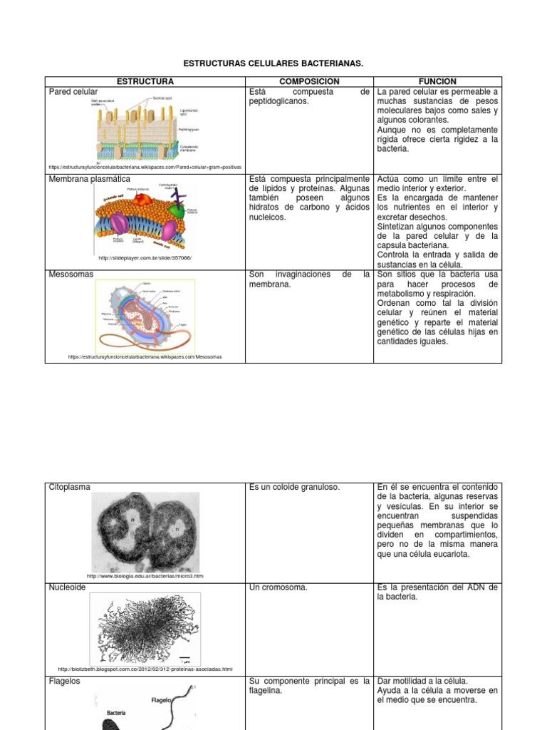Estructuras Celulares Bacterianas Docx Cell Wall Cell
