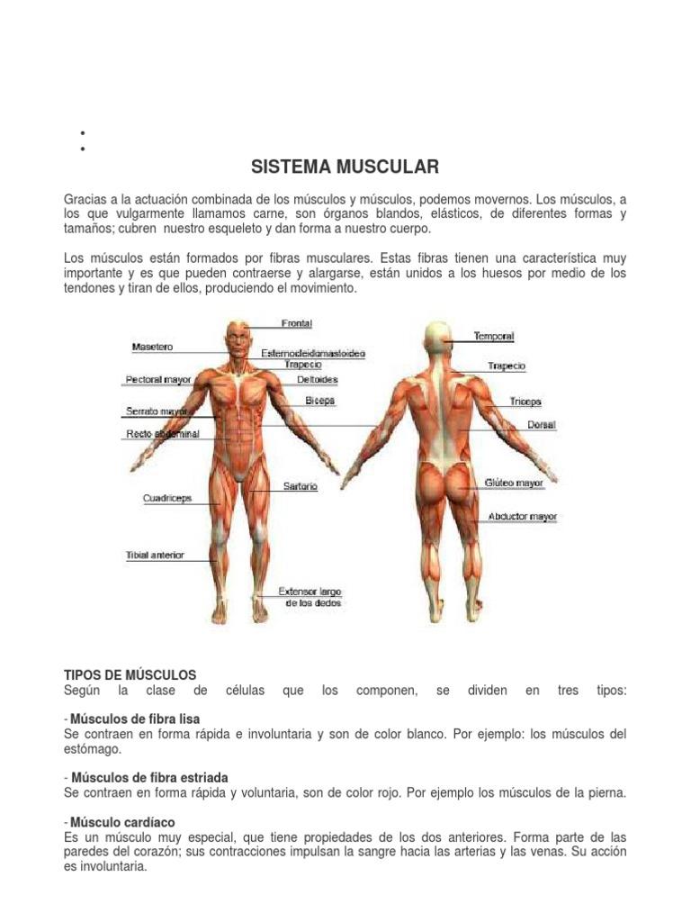Bonito Músculos Anteriores Del Cuerpo Imagen - Imágenes de Anatomía ...