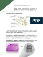 Histologia de Gandlios Sensitivo y Autonomo-1