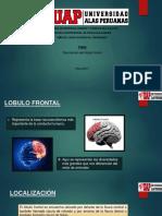 Lóbulo Frontal Anatomía y Funciones