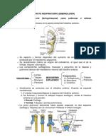 Sistema Respiratorio Embriologia